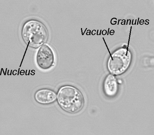 yeast cell budding - photo #9